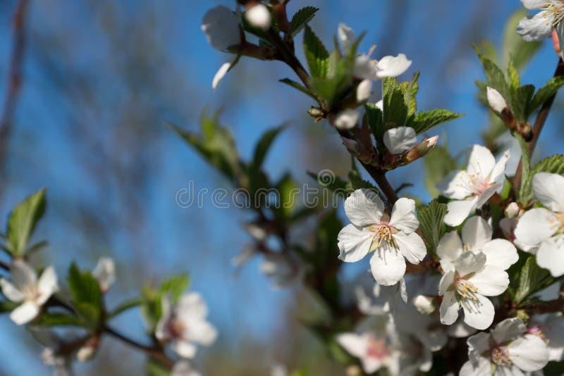 Cherry Blossom nel giardino fotografie stock libere da diritti
