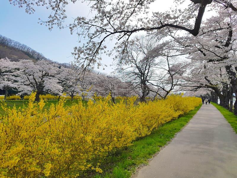 Cherry Blossom nel parco di Funaoka Joshi, Sendai, Miyagi, Giappone fotografie stock