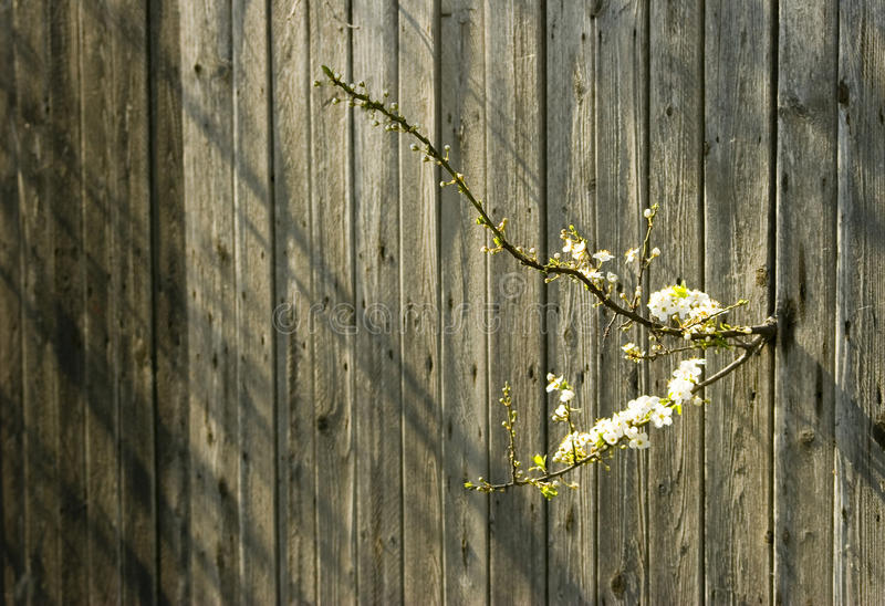 Download Cherry Blossom And Old Fence Stock Image - Image: 12527457