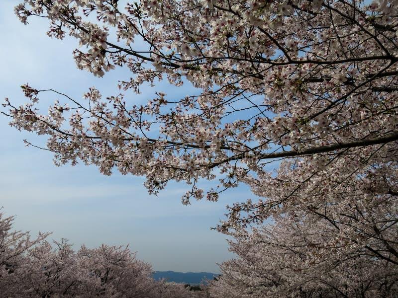 Cherry Blossom ou Sakura cor-de-rosa completamente de florescência com céu azul imagens de stock royalty free