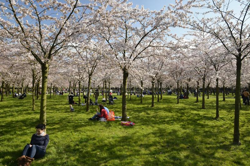 The cherry blossom park royalty free stock image