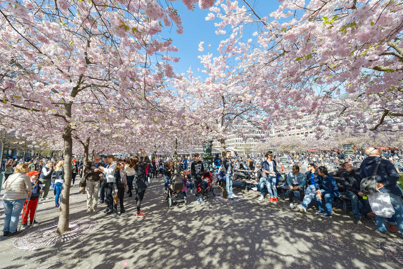Cherry blossom in the park Kungstradgarden stock photos