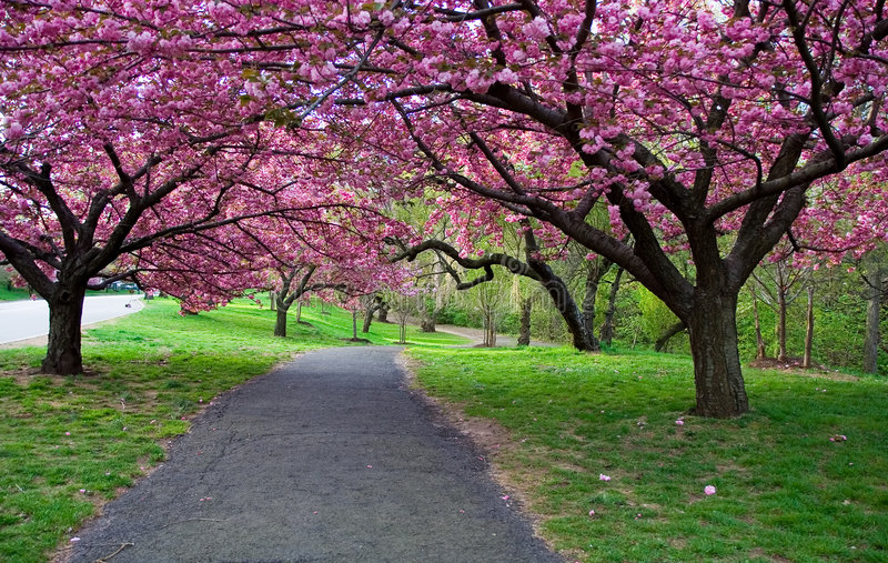 Cherry Blossom Path royalty free stock photography