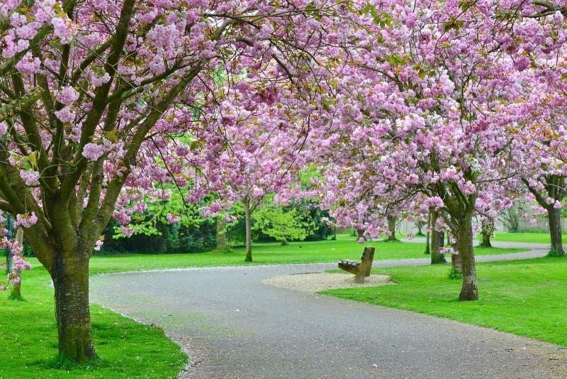 Cherry Blossom Path fotos de archivo