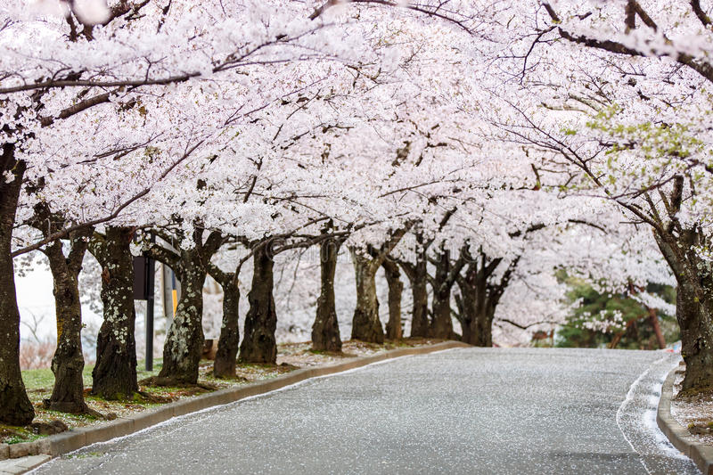 Cherry Blossom Path in beautiful Garden in spring (selected focused on tree at middel of path). Cherry Blossom Path in beautiful Garden in spring, Joyama Park royalty free stock photo