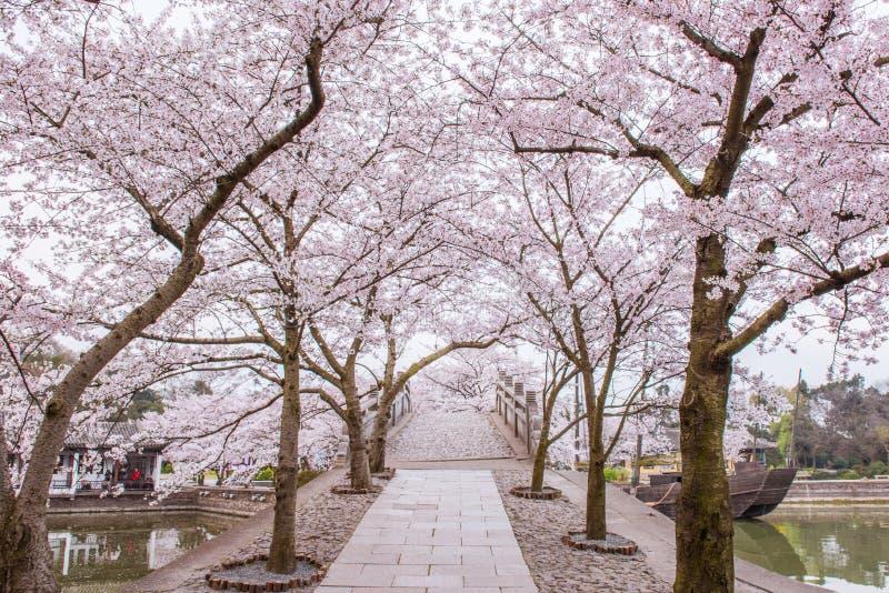 Cherry blossom path stock image