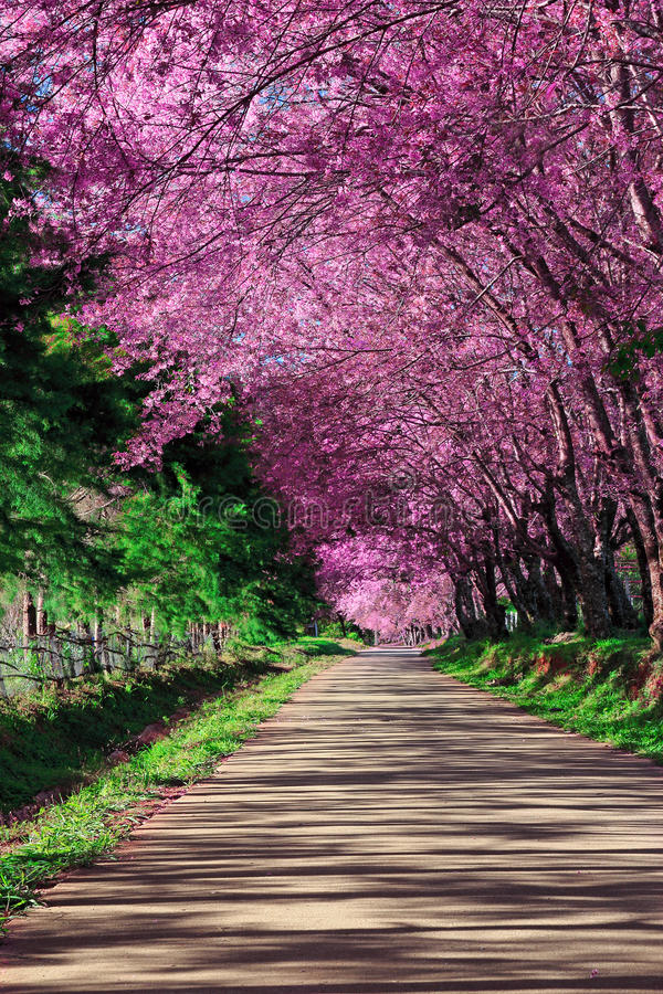 Free Cherry Blossom Pathway Stock Photos - 24846163