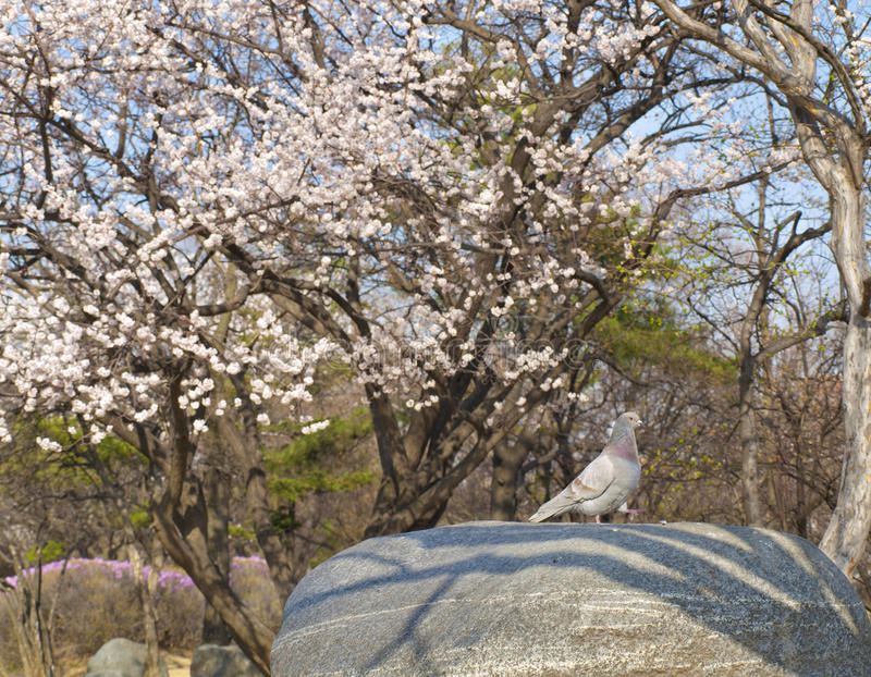 Cherry blossom and peageon royalty free stock photos