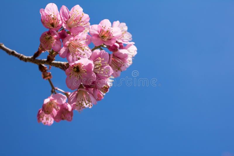 Cherry Blossom pica el lo Loei Tailandia del lom del phu de la flor de Sakura fotografía de archivo