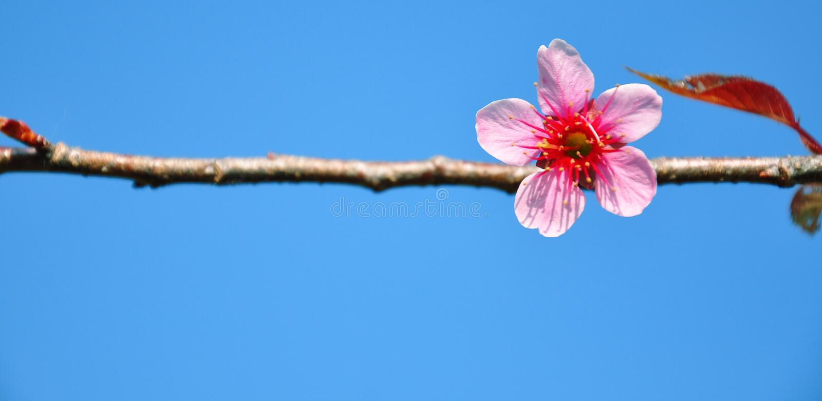 Download Cherry Blossom stock image. Image of closeup, flora, floral - 39511657