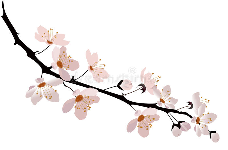 Cherry blossom. Pink cherry blossom on white background