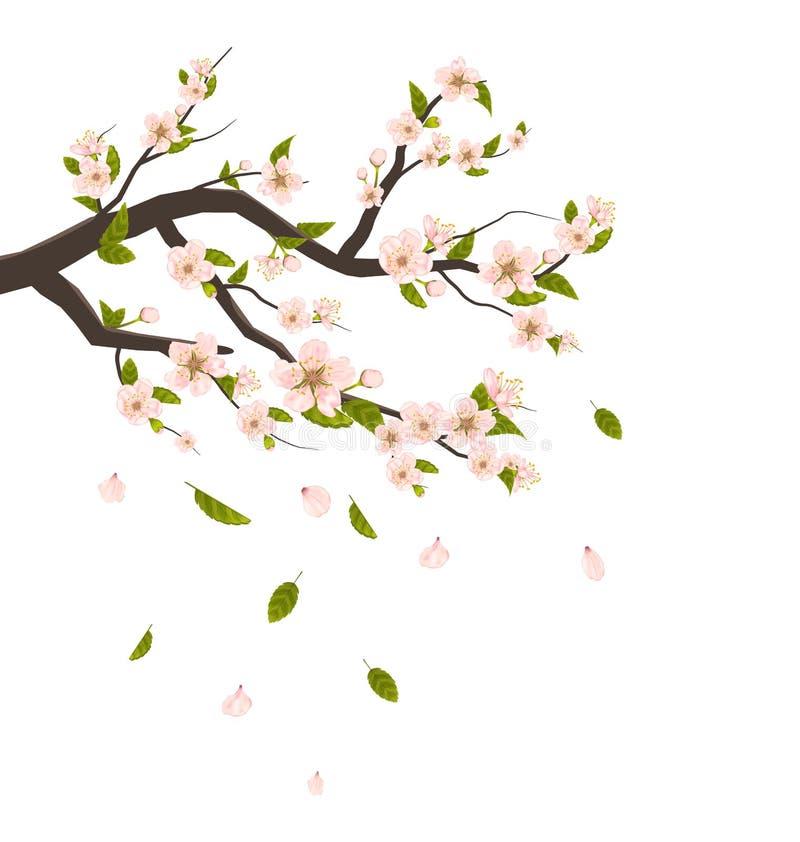 Cherry Blossom, rama del árbol con los pétalos del vuelo aislados stock de ilustración