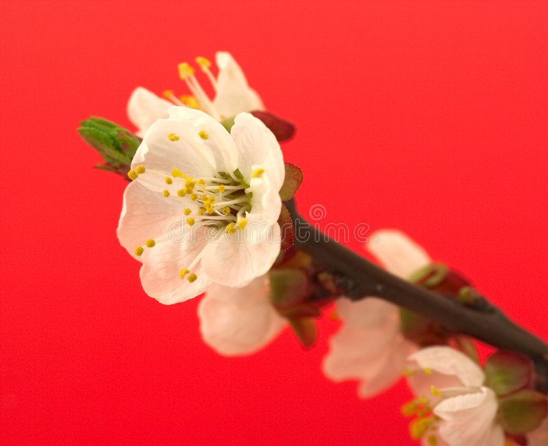 Download Cherry Blossom On Red Royalty Free Stock Images - Image: 9079229
