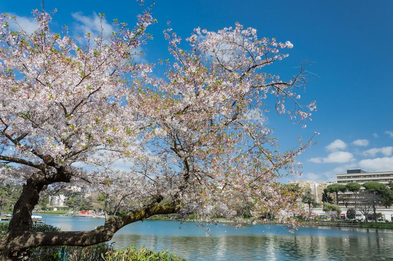 Cherry blossom, EUR, Rome. Cherry blossom in Rome Italy on spring. This is the EUR neighborhood. Blue sky and the artificial lake pond in the background royalty free stock images