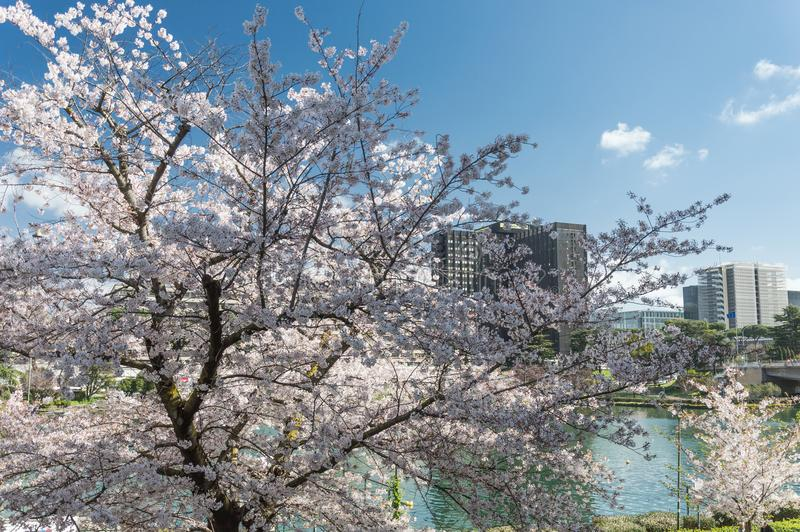 Cherry blossom, EUR, Rome. Cherry blossom in Rome Italy on spring. This is the EUR neighborhood. Blue sky and the artificial lake pond in the background royalty free stock photos