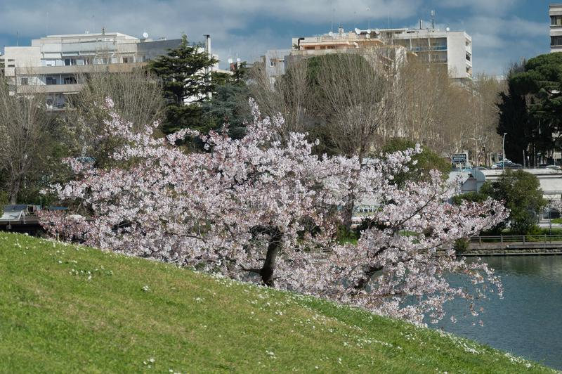 Cherry blossom, EUR, Rome. Cherry blossom in Rome Italy on spring. This is the EUR neighborhood. Blue sky and the artificial lake pond in the background stock photos