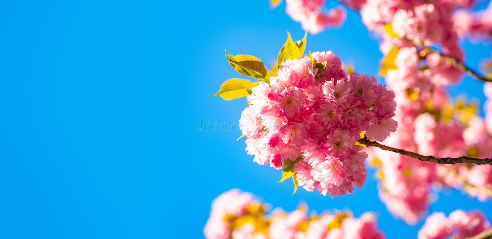 Cherry blossom. Sacura cherry-tree. For easter and spring greeting cards with copy space. Spring border background with royalty free stock photography