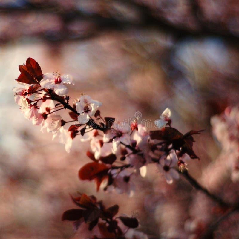 Download Cherry Blossom/ Sakura stock photo. Image of wild, macro - 8599740