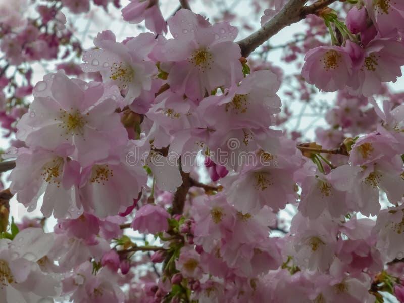 Cherry Blossom, Sakura. Beautiful cherry blossom in spring royalty free stock photo