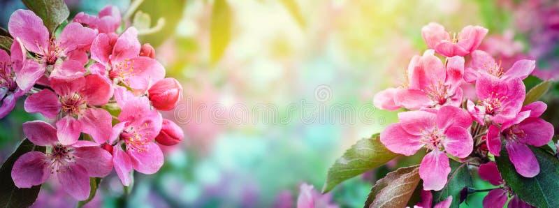 Cherry Blossom, Sakura-bloemen De samenvatting vertroebelde brede achtergrond van de boom van de lentebloesems stock afbeeldingen