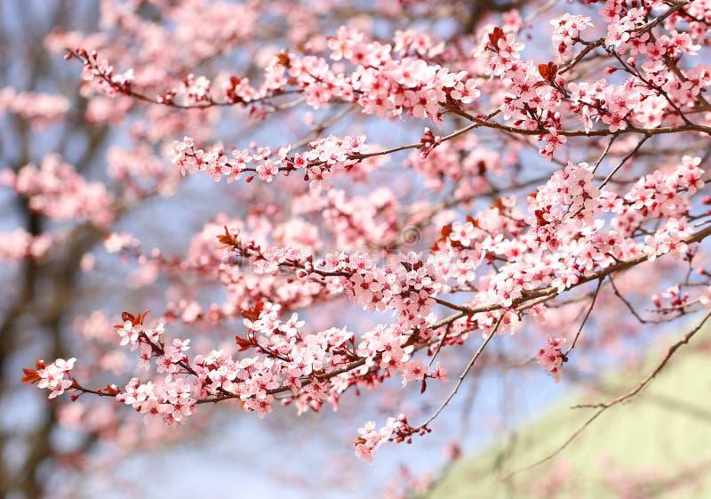 Cherry Blossom Sakura dans le printemps photo stock