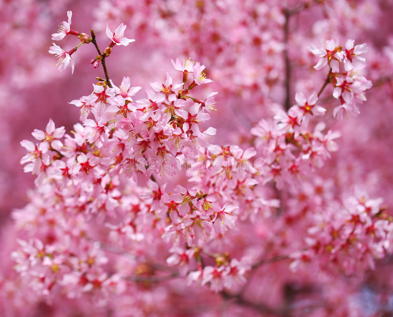 Cherry Blossom. Sakura in de Lente royalty-vrije stock afbeeldingen