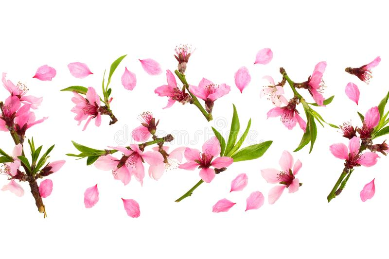 Cherry blossom, sakura flowers isolated on white background with copy space for your text. Top view. Flat lay pattern stock image