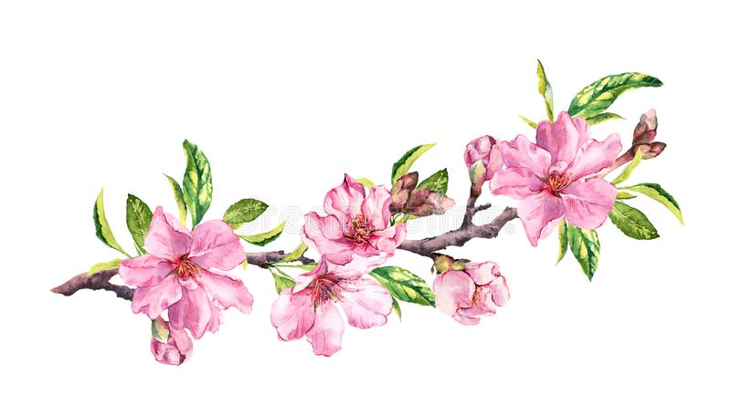 Cherry blossom, sakura flowers in spring time. Water color twig vector illustration