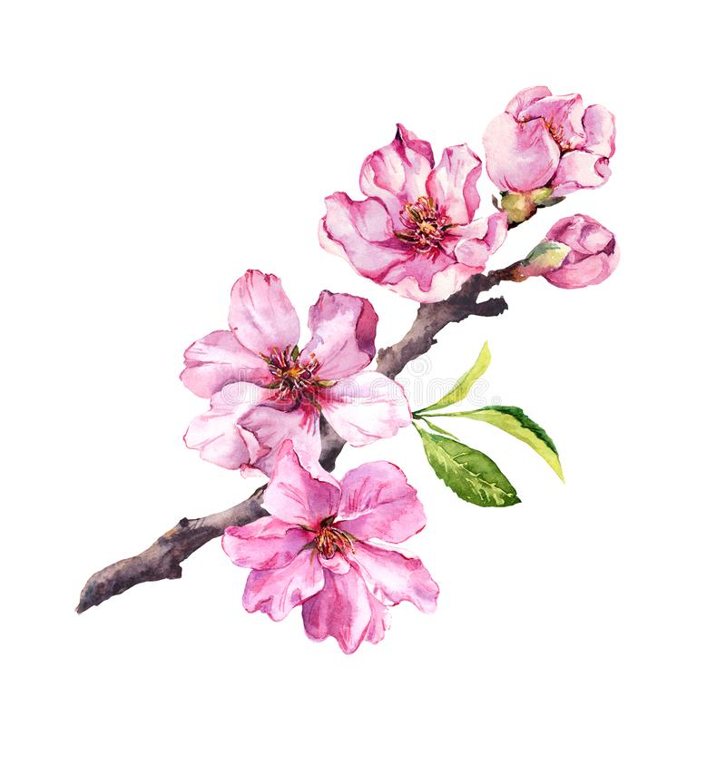 Cherry blossom, sakura flowers in spring time. Watercolor twig royalty free illustration