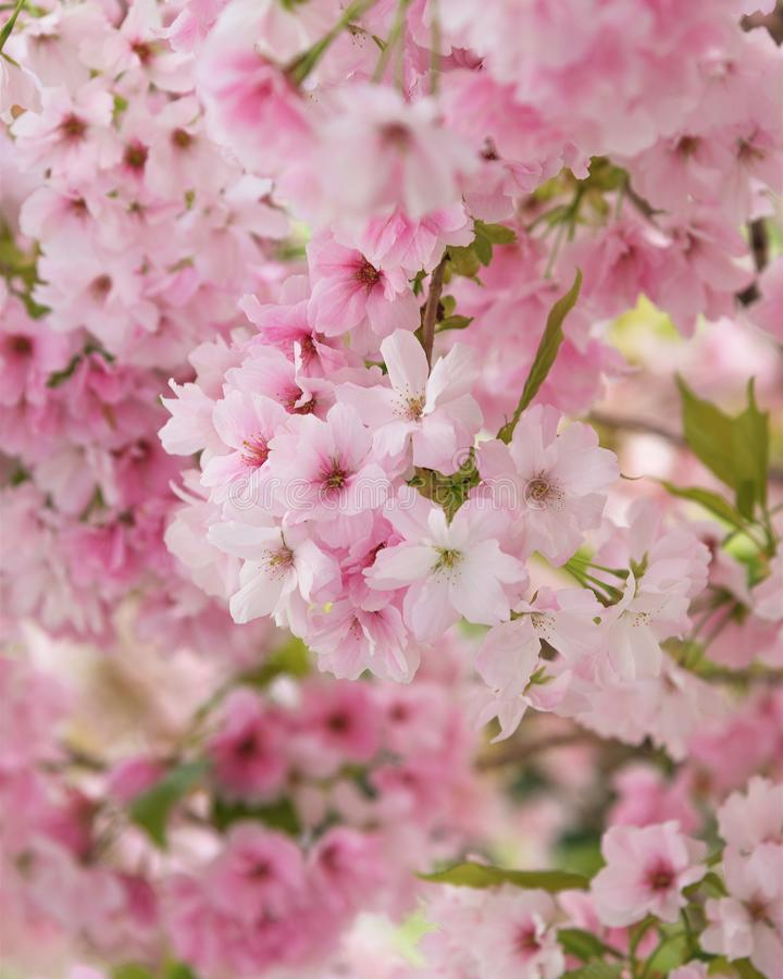Cherry Blossom, Sakura. A metaphor of the ephemeral nature of life. Photo for interior and background. Vertical royalty free stock photo