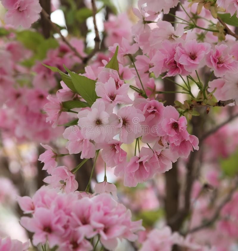 Cherry Blossom, Sakura. Photo of beautiful cherry blossom for interior. A metaphor for the ephemeral nature of life stock images