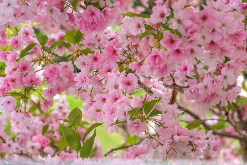 Cherry Blossom, Sakura. Photo for interior. A metaphor for the ephemeral nature of life royalty free stock photos