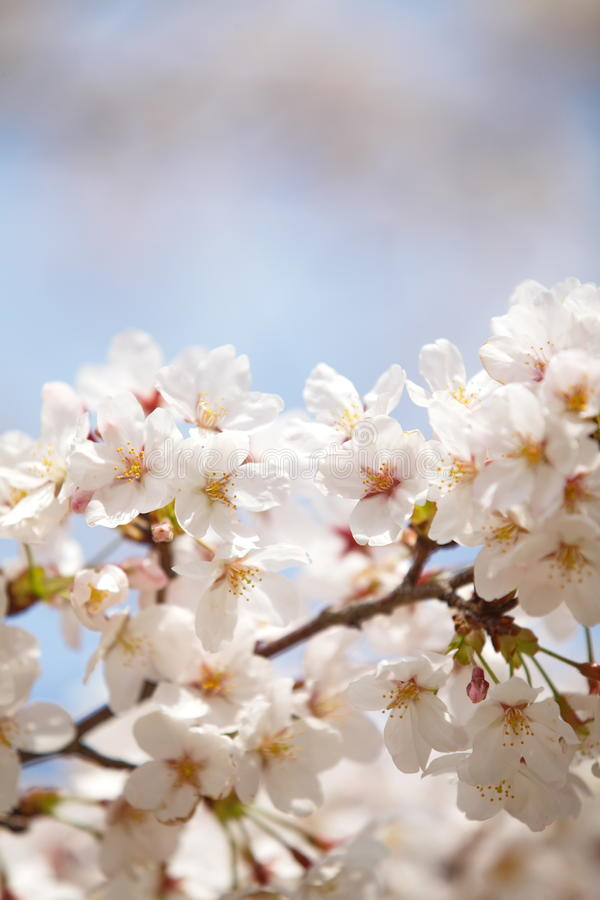 Download Cherry blossom sakura stock image. Image of blooming - 39511807