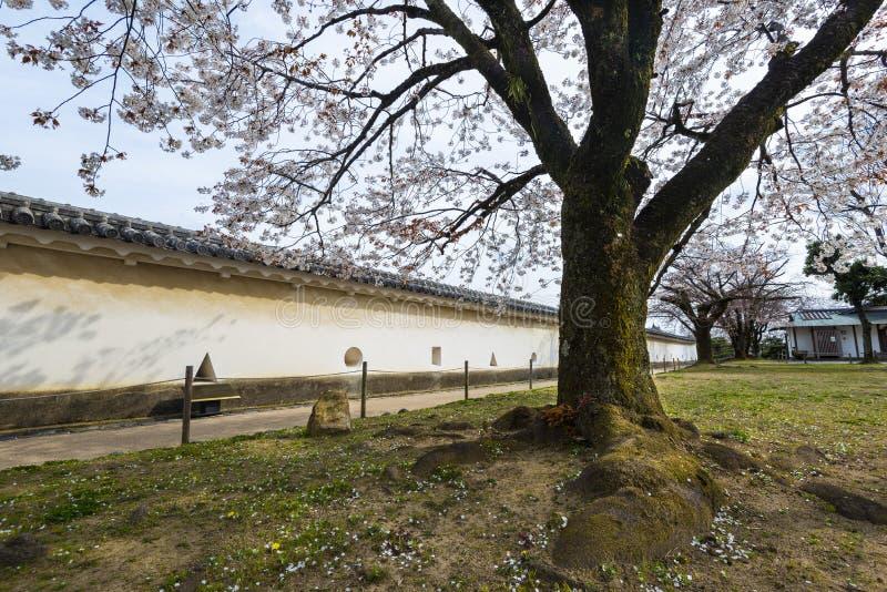 Cherry Blossom Sakura Tree i en trädgård av den Himeji slotten, Hyogo, Japan arkivbilder