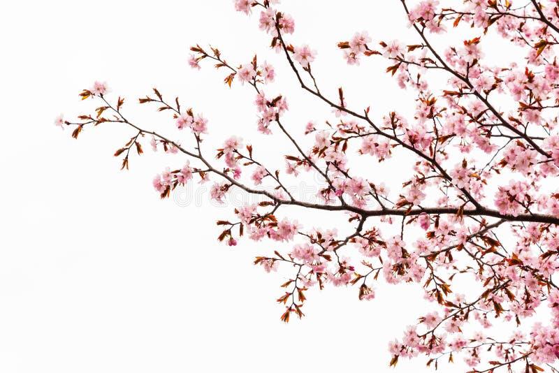 Cherry blossom or sakura tree isolated. On white background royalty free illustration