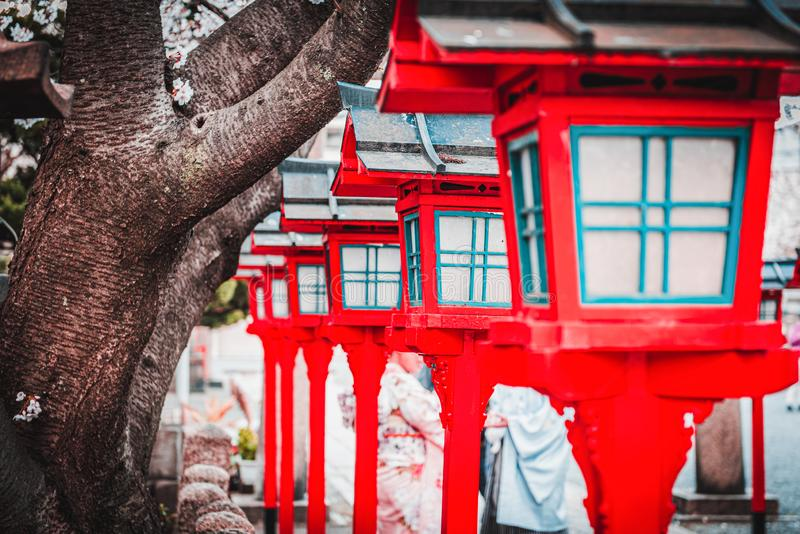Cherry blossom sakura trees in spring with blooming flowers  and red lantern lamp during day closeup stock photography