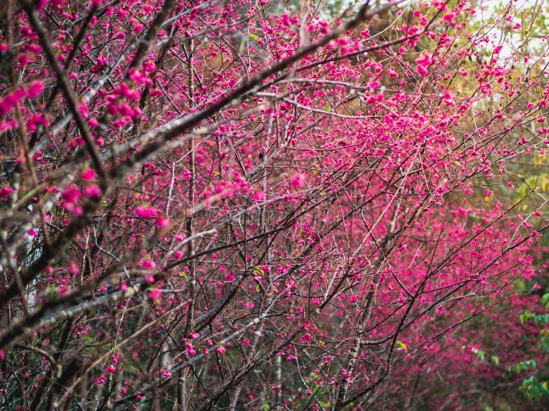 Cherry blossom or Sakura trees with yellow sunlight in Taiwan. stock image