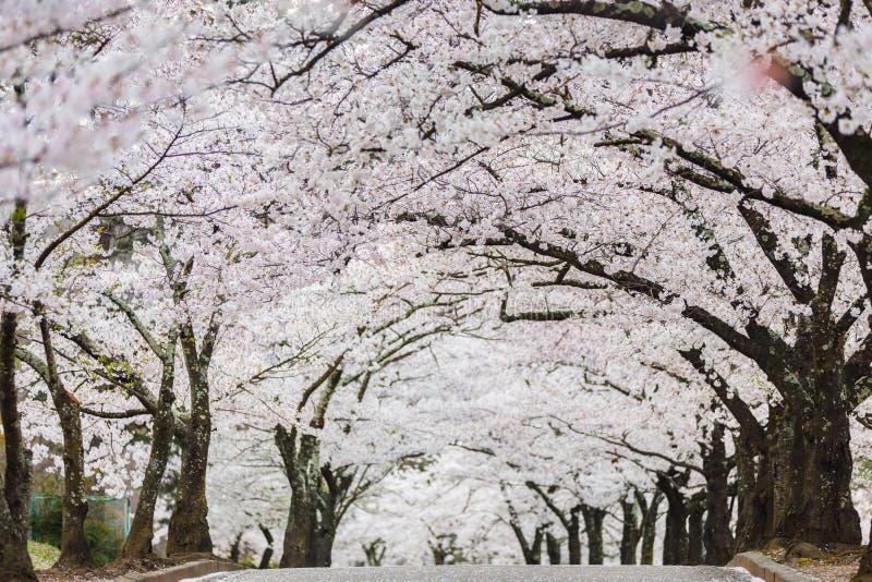 Cherry blossom or Sakura tunnel in japanese park stock photos