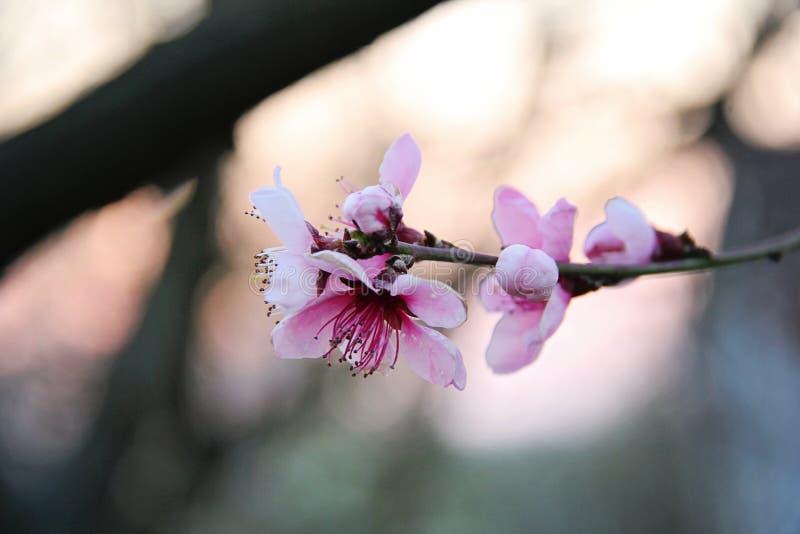 Cherry Blossom scuro piacevole immagine stock