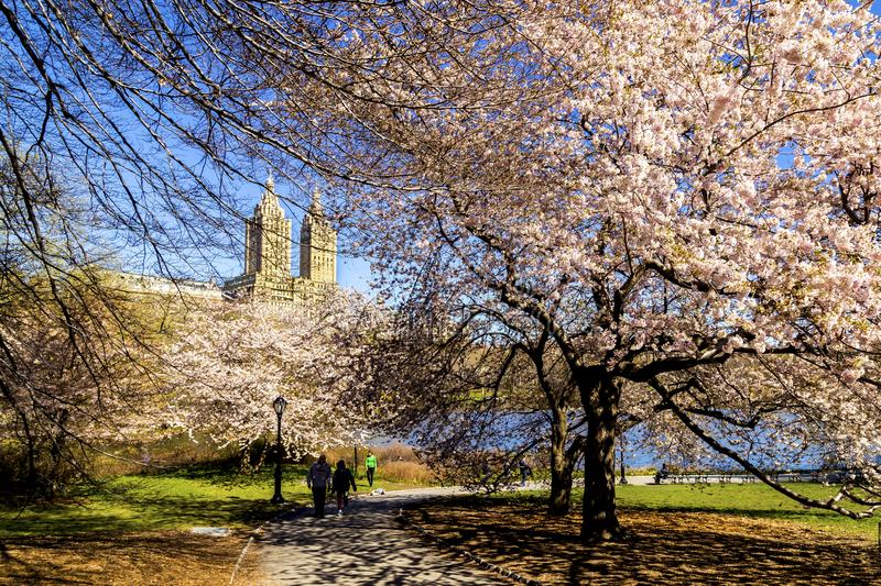 Cherry Blossom Season no Central Park fotografia de stock