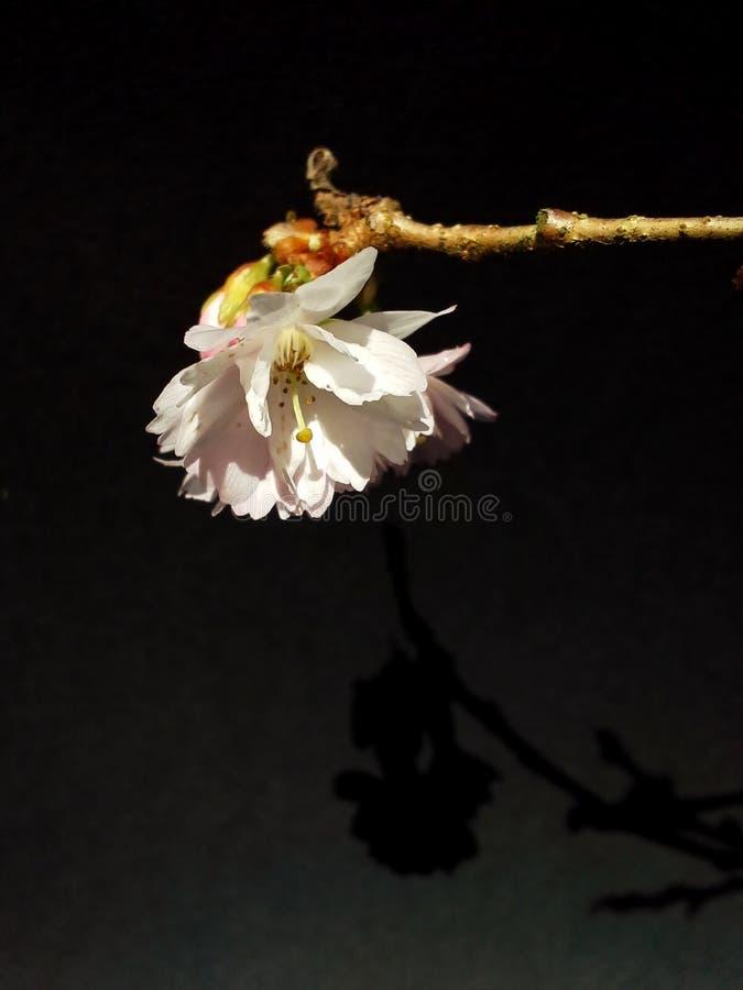 Cherry Blossom Silhouette no preto imagens de stock royalty free