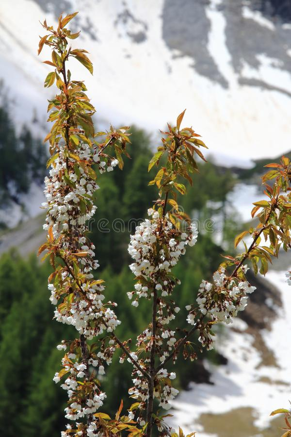 Cherry blossom in snowy Maritime Alps in France royalty free stock photography