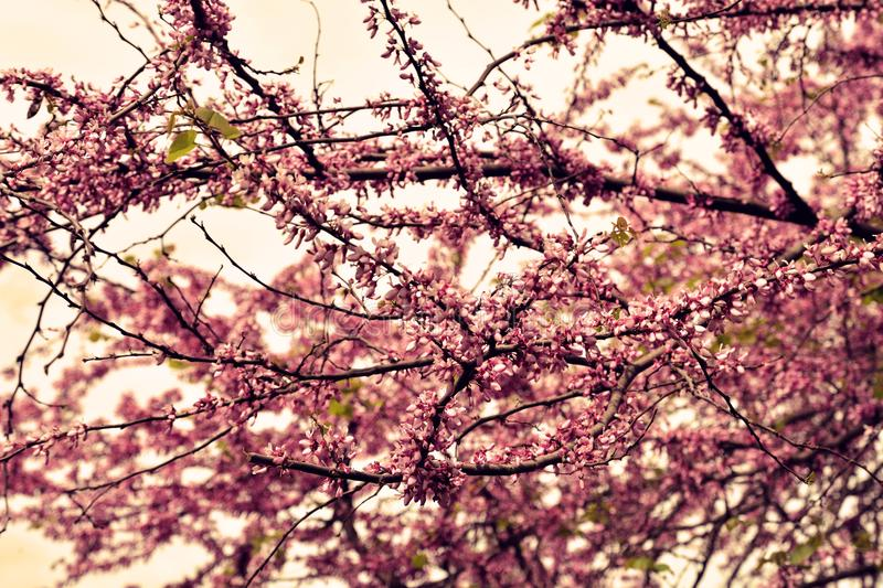 Pink cherry blossom tree. Cherry blossom in spring for background stock photos