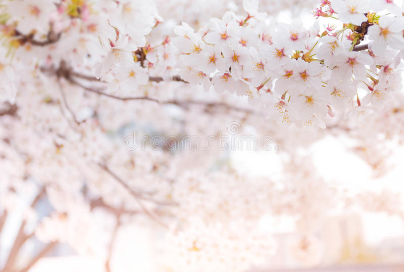 Cherry blossom in spring, background stock photography