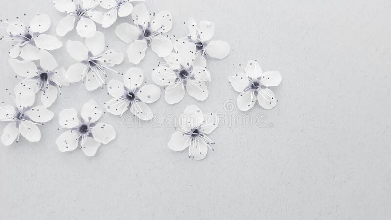 Cherry blossom spring flowers. Background stock images