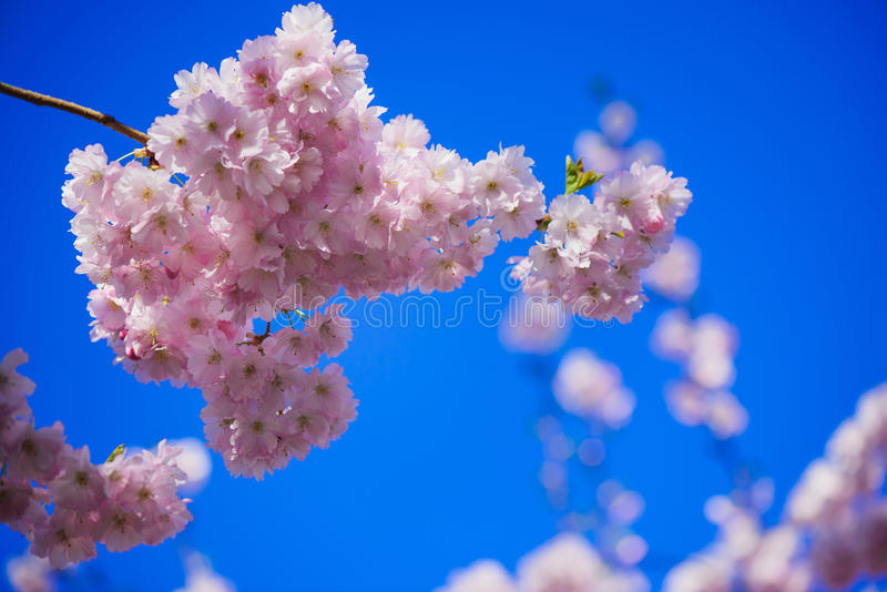 Cherry blossom in spring royalty free stock photos