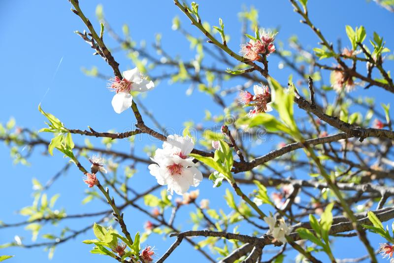 Cherry blossom. Spring tree blooming on the blue sky background royalty free stock photo
