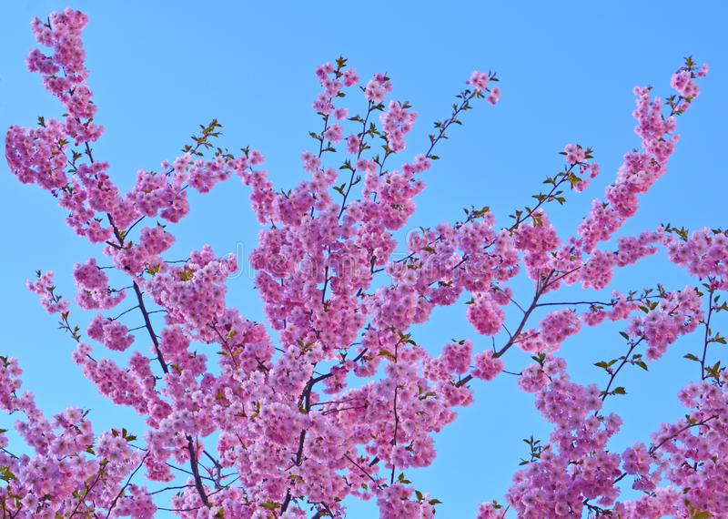 Cherry blossom in the springtime royalty free stock images