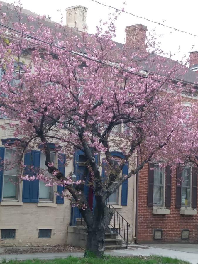 Cherry Blossom ställe arkivfoton