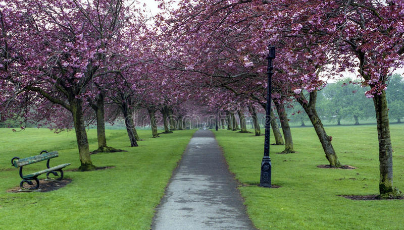 Cherry Blossom The Stray Harrogate North Yorkshire royalty free stock images